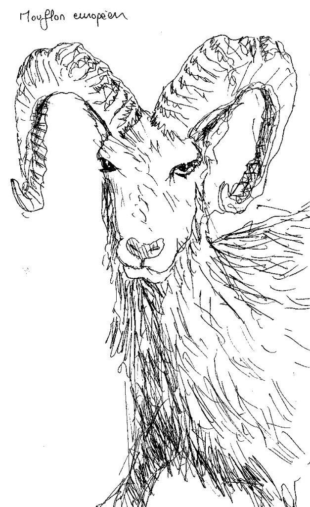 museum histoire naturelle mouflon